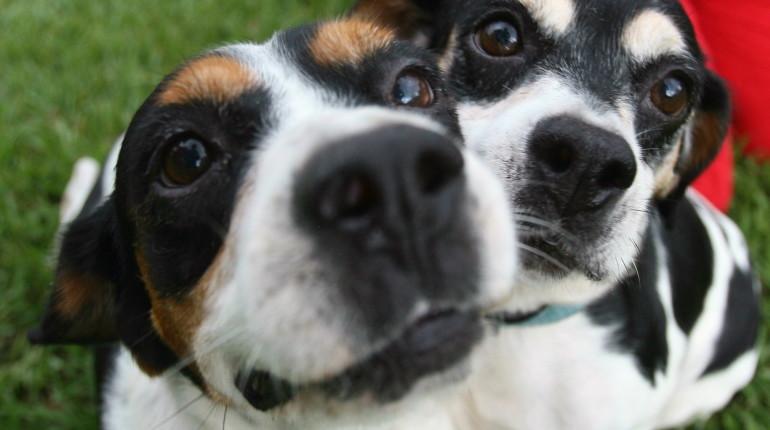 Beagles 1_1